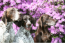 HOLZSTROM GERMAN SHORTHAIRED POINTERS